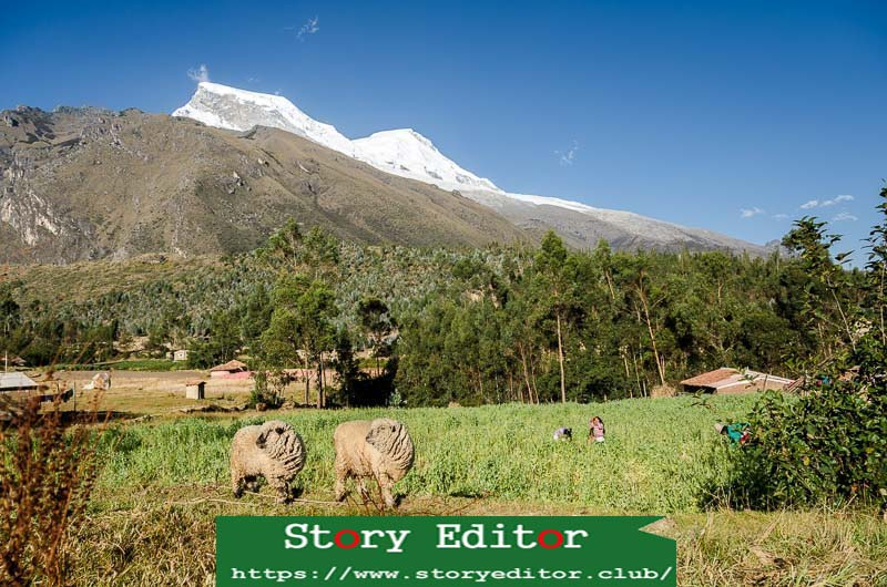 landscape of fields with two sheep with a lot of wool and in the background the huascaran peak full of snow with blue sky
